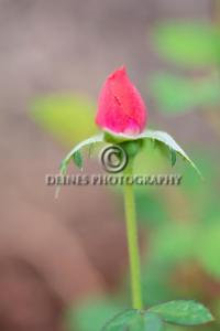 Small-Rose-Bud-c