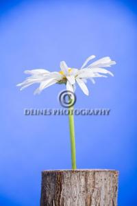 daisy-c1