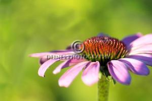 echinacea-c