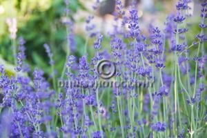 lavender-bush-c