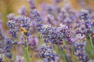lavender-c