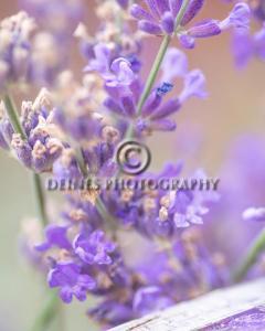 lavender2-c