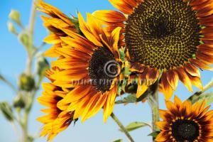 lg-sunflower-c