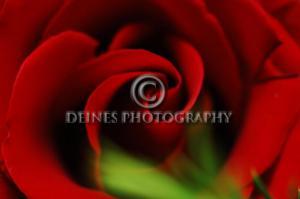 red-rose1