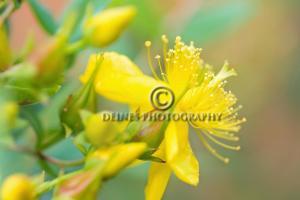 stjohns-wort-flower2-c