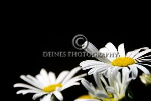 white-daisy-black-background-c